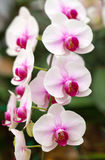 Branch of white orchids Stock Photography