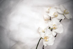The branch of white orchids Royalty Free Stock Photo