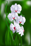 A branch of white orchids. A branch of white orchids in the sun on a green background Stock Photography