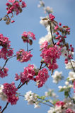 Branch with white and pink flowers Royalty Free Stock Photography