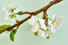 Plum blossom against a green background. Branch with white plum blossom and fresh green leaves in spring against a pastel light green background royalty free stock images