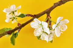 Plum blossom against a yellow background. Branch with white plum blossom and fresh green leaves in spring against a yellow background royalty free stock images