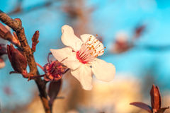 Branch of white plum blossoms on a blue background. Floral backg Royalty Free Stock Photos