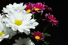 Branch of white and red chrysanthemums on a black background royalty free stock photography