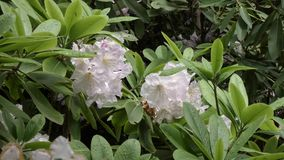 Branch of white rhododendron bush growing in springtime. In pacific northwest stock video