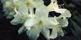 Branch of white Rhododendron. Flowering bush. Stock Photos