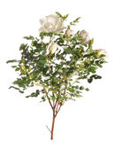 Branch of a white rose. The branch of a white rose costs Royalty Free Stock Photo