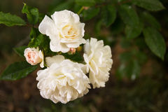 Branch with white roses with drops of dew on a background of green grass. White roses with dew on a natural background. stock photos