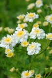 Branch of white small flowers chamomile Stock Photos