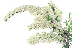Branch of white Spiraea Royalty Free Stock Images