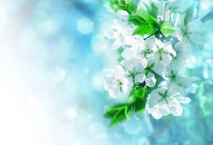 Branch of white spring blossom Royalty Free Stock Image