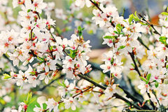 A branch of the white spring blossoms Stock Photography