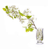 Branch with White Spring Blossoms in Glass Vase isolated Royalty Free Stock Photo