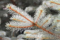 Branch of white spruce Royalty Free Stock Photography