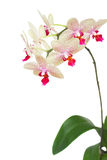 Branch of white with violet orchid Royalty Free Stock Photo