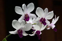Branch of white and violet orchid Royalty Free Stock Photo