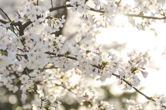Branch of white wild Himalayan cherry blossom, Sakura tree Stock Photo