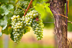 Branch of white wine grapes Stock Images