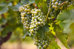 Branch of white wine grapes Royalty Free Stock Image