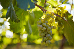 Branch of white wine grapes Stock Image