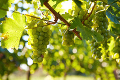 Branch of white wine grapes Stock Photography