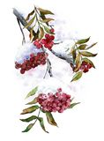 Branch of wild ash with snow on berries. Winter red ashberry. Watercolor illustration. stock illustration