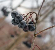 Branch of wild berries. A bunch of black wild berries hanging on a branch Stock Photography