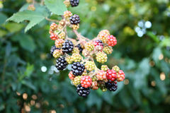 Branch of wild blackberry Royalty Free Stock Images