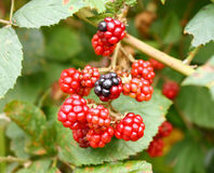 Branch of wild blackberry Royalty Free Stock Photography