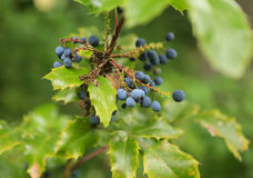 A branch of wild grape Stock Photography