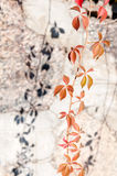 Branch of wild grapes on the background of the wall Stock Image