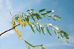 Branch of wild olive trees Stock Photos