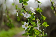 Branch of wild plum with flowers. In spring. Waiting for a bee stock images