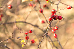 Branch of wild rose bush with fruits Stock Photography