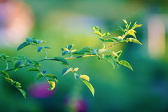 Branch of wild rose Royalty Free Stock Photos