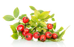 Branch of wild rose with green leaves and ripe berries close-up on white Stock Image