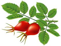 A branch of wild rose hips. Vector illustration. A branch of wild rose hips. Vector illustration on white background Vector Illustration