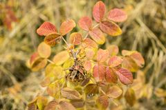 A branch of wild rose in the late autumn. Autumn rosehips Royalty Free Stock Image