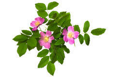 A branch of wild rose with leaves and flowers Royalty Free Stock Photography