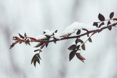 The branch of wild rose with thorns and red leaves in the snow in the winter. close-up Royalty Free Stock Photos