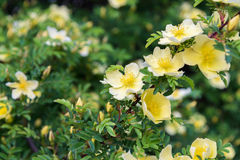 Branch of wild rose with yellow flowers Stock Photo