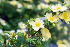 Branch of wild rose with yellow flowers Royalty Free Stock Photos