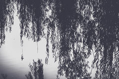 Branch of a willow bent over the water surface of the pond. Summer landscape, Black, white stock photo