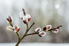 Branch of willow with blossoming buds in early spring, close-up. _ royalty free stock images