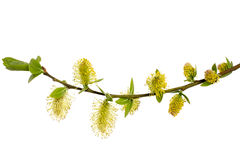 Branch of willow with buds, isolated Royalty Free Stock Images