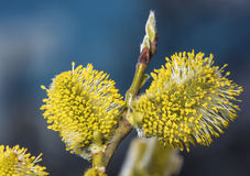 Branch of a willow Stock Image