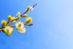 Branch of willow with fluffy bright yellow buds Stock Photos