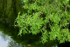 Branch of willow tree Royalty Free Stock Photography