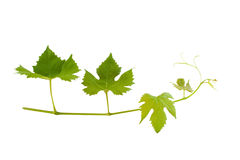 Branch of wine leafs. Isolated on white Stock Photography