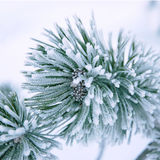 Branch of a winter pine tree. A close-up of a fir-tree branch covered with hoarfrost Stock Photos